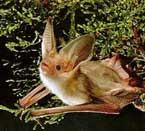 California Pest Control | Pallid Bat