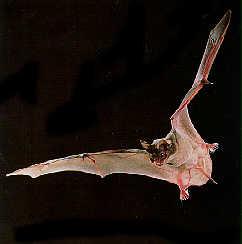 Texas Pest Control | Brazilian Free-Tailed Bat